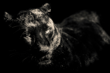 black and white panther: black panther black and white portrait
