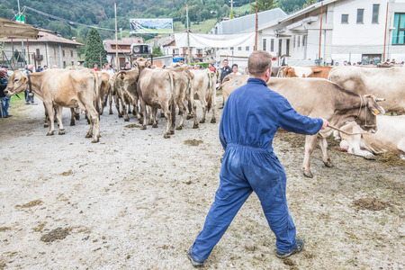 serine: SERINA, ITALY - SEPTEMBER 21.2016: cattle exhibition and contest at Brembana Valley, Serina, Bergamo, Italy. Cows back to the farm.