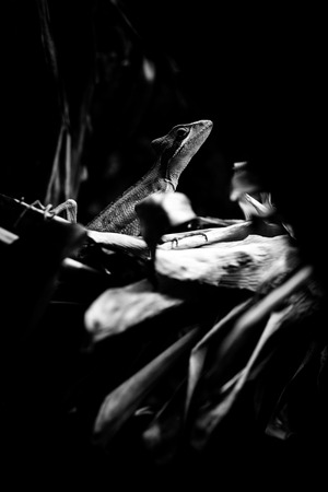 eastern iguana - black and white animals portraits