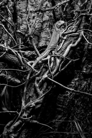 iguana - green iguana - black and white animals portraits 版權商用圖片