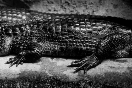 cuviers dwarf caiman - black and white animals portraits