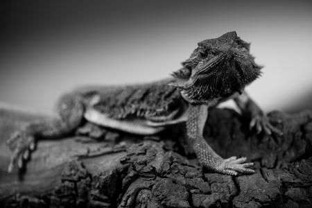 pogona - eastern bearded dragon - black and white animals portraits