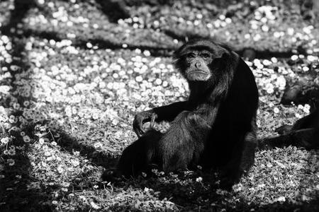 chimpanzees ape - black and white animals portraits 版權商用圖片