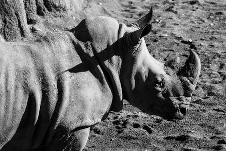 rhinoceros - black and white animals portraits