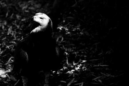 eagle - black and white animals portraits