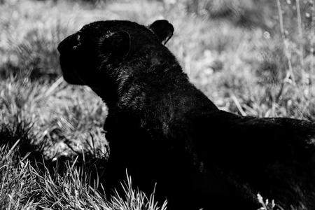 black panther - black and white animals portraits 版權商用圖片