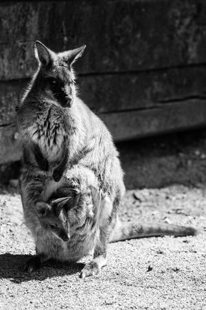 kangaroo - black and white animals portraits 版權商用圖片