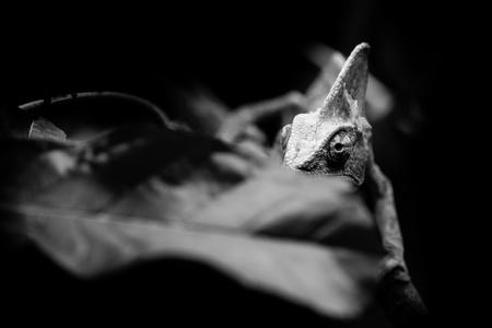veiled chameleon - black and white animals portraits