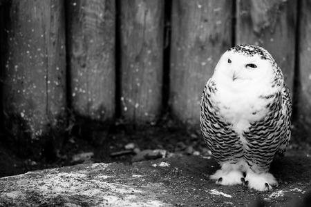 snow owl - black and white animals portraits