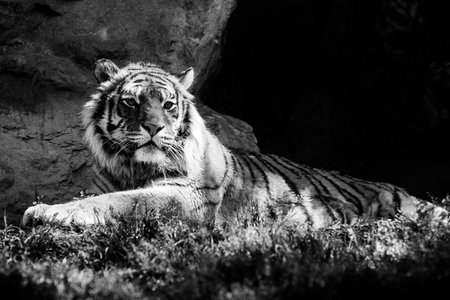 siberian tiger - black and white animals portraits