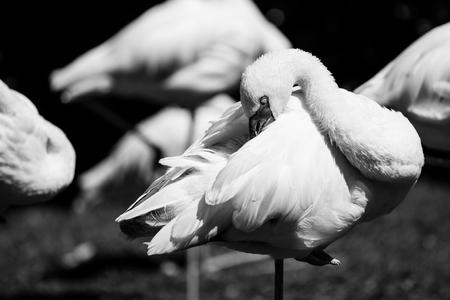 flamingo - black and white animals portraits 版權商用圖片