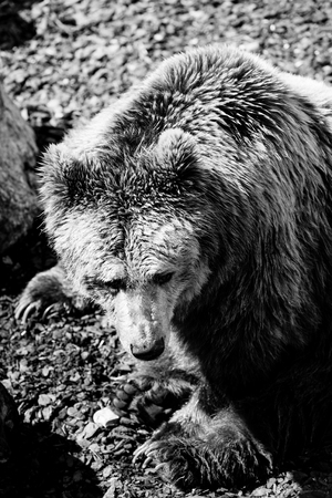 bear - black and white animals portraits