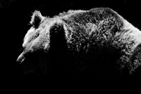 bear silhouette - black and white animals portraits