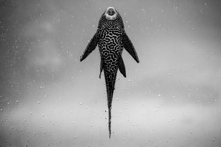 ancistrus fish - black and white animals portraits 版權商用圖片