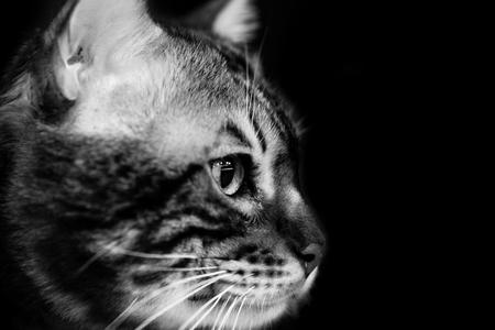Cute scottish cat - black and white animal portraits 版權商用圖片