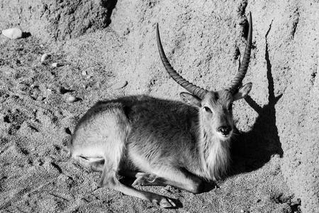 gazelle - black and white animals portraits