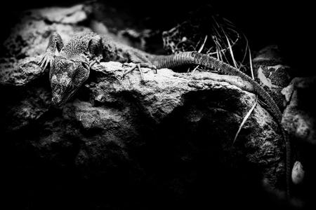 jewelled lizard - timon lepidus - black and white animals portraits