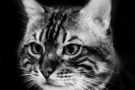 Cute scottish cat - black and white animal portraits Stock Photo
