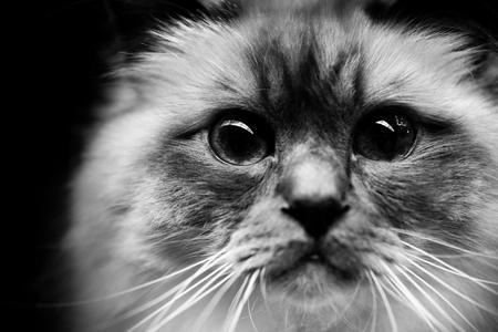 Cute burmese cat - black and white animals portraits