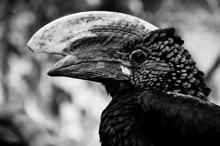 hornbill bird - bycamistes brevis - black and white animals portraits