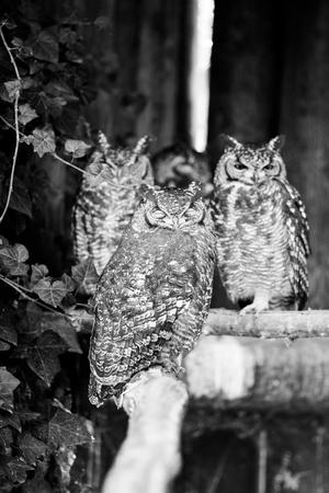 african owl - black and white animals portraits 版權商用圖片