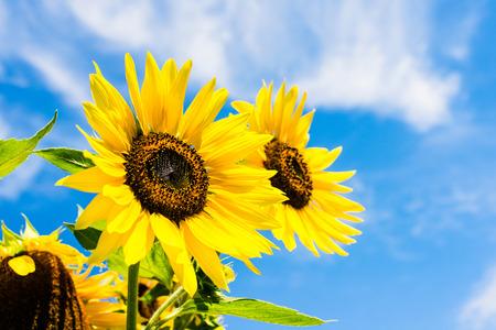 向日葵在藍藍的天空 - 晴天夏天好天氣概念