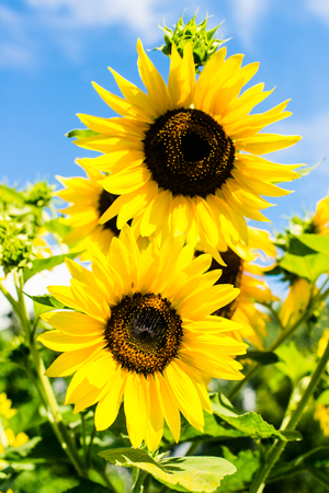 sunflower over blue sky - sunny day summertime good weather concept