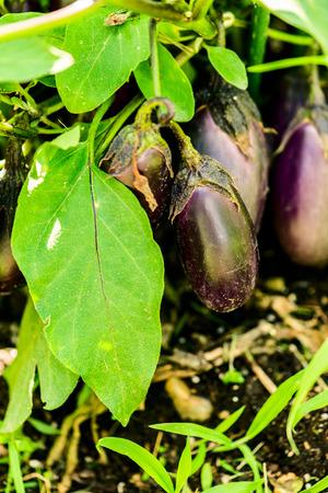 eggplant purple berry - solanum melongena - botanical beckgrounds