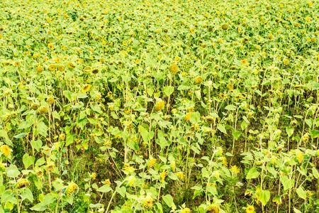向下的向日葵領域 - 植物學背景
