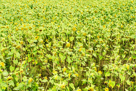 down sunflowers field - botanical backgrounds