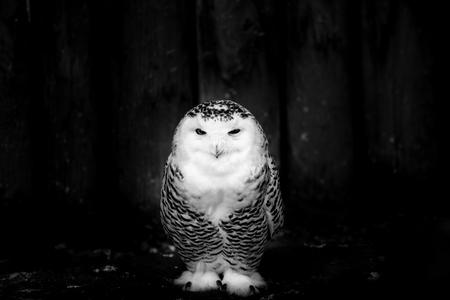 snowy owl - black and white image 版權商用圖片 - 98869205
