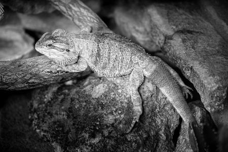 pogona - black and white image