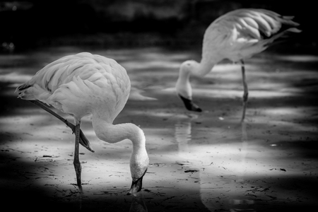 flamingo - black and white image 版權商用圖片