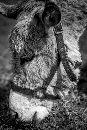 donkey for pet therapy - black and white image 版權商用圖片