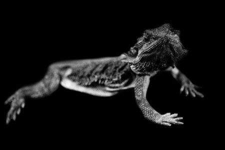 pogona lizard isolated on black background