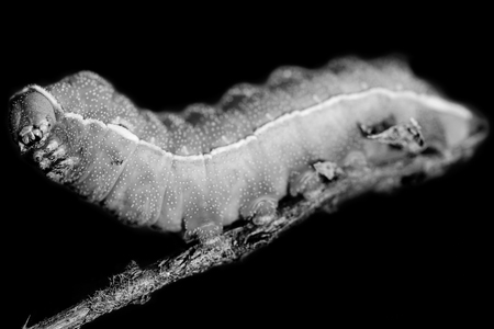 caterpillar isolated on black background