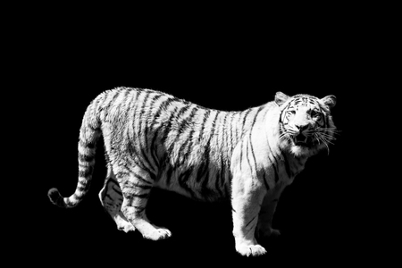 tiger  isolated on black background