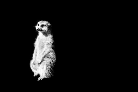 suricate isolated on black background