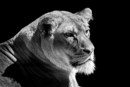 lioness head  isolated on black background