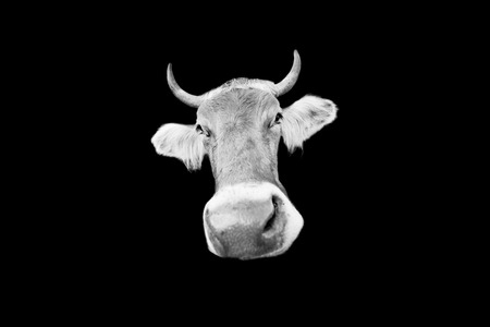 cow head  isolated on black background
