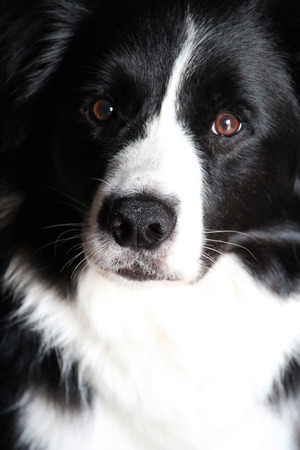 canid: Border collie Stock Photo