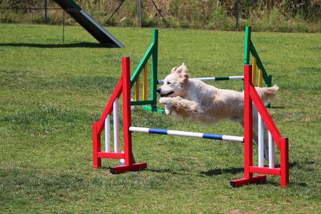 dog agility: dog agility