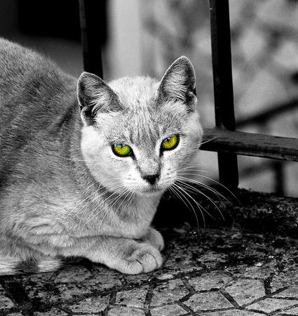 desconfianza: T�pica que muestra randaggio gato de desconfianza