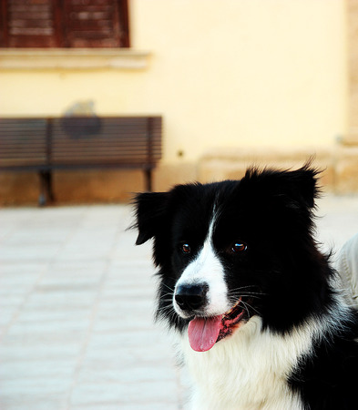 inseparable: portrait of happy border collie Stock Photo