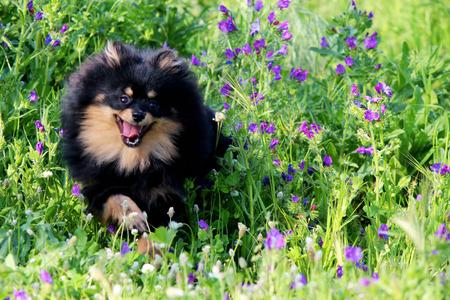 pomeranian: pomeranian puppy Stock Photo
