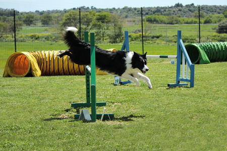 obstacle course: Dog agility