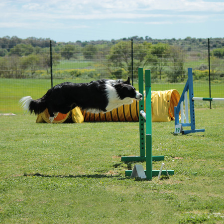 dog agility: A BORDER COLLIE THAT JUMP AN OBSTACLE OF DOG AGILITY Stock Photo