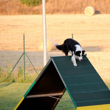 dog agility: colllie border on the obstacle of dog agility