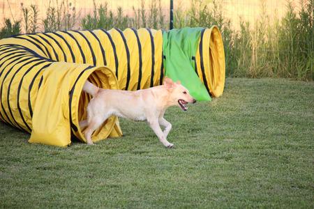 agility dog: dog agility