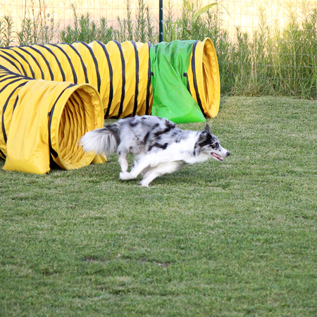 dog agility: a border collie in a tunnel of dog agility